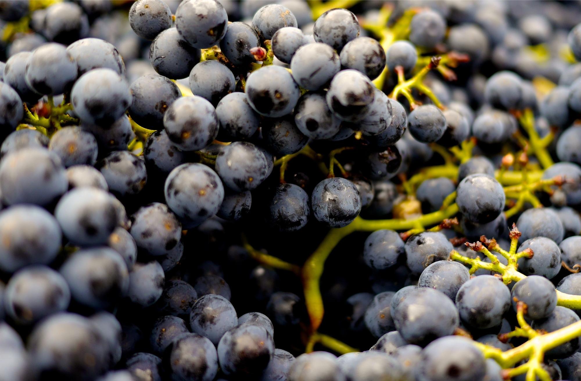 uvas de las vides de Casar de Burbia